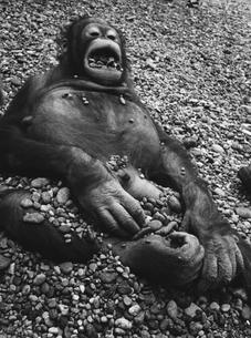 石で遊ぶオランウータンの子供の写真素材 [FYI03915563]