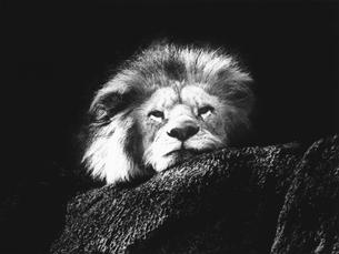 ライオンの写真素材 [FYI03915572]
