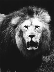 ライオンの写真素材 [FYI03915574]