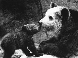 クマの親子の写真素材 [FYI03915576]
