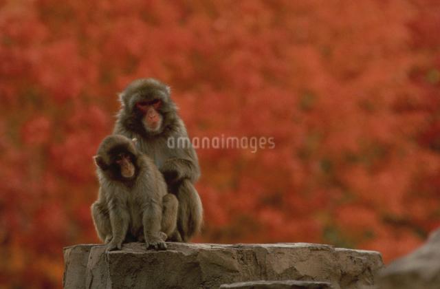 サルの親子の写真素材 [FYI03915584]