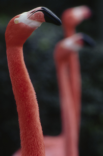フラミンゴの写真素材 [FYI03915613]