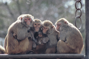 サルの集団の写真素材 [FYI03915636]