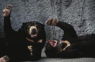 クマの写真素材 [FYI03915637]