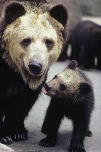 クマの写真素材 [FYI03915638]