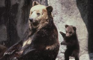 クマの写真素材 [FYI03915639]