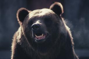 クマの写真素材 [FYI03915640]
