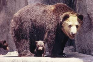 クマの写真素材 [FYI03915641]