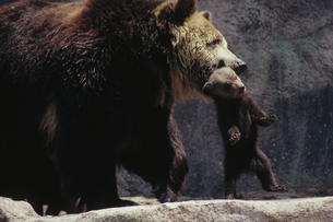 クマの写真素材 [FYI03915642]