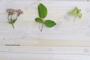 バラの葉とあじさいとアストランティアの写真素材 [FYI03917394]