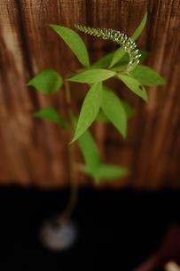 植物の写真素材 [FYI03917566]