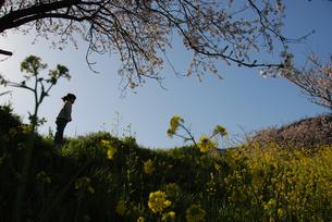 女の子と桜と菜の花の写真素材 [FYI03918772]