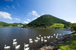 藺牟田池の白鳥の写真素材 [FYI03919651]