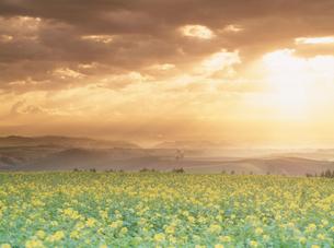 きがらしの花畑と光芒の写真素材 [FYI03921678]