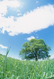 牧草とハルニレの木と青空の写真素材 [FYI03921679]