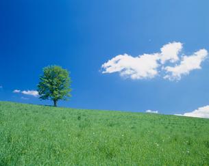 牧草地とハルニレの木の写真素材 [FYI03921683]