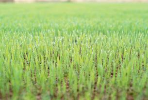 稲の苗の写真素材 [FYI03921996]