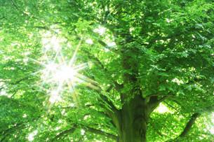 ブナの新緑と木漏れ日の写真素材 [FYI03922088]
