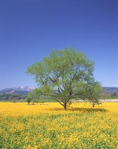 菜の花と斑尾山の写真素材 [FYI03922123]