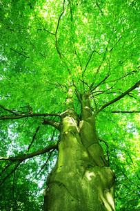 ブナの巨木の写真素材 [FYI03922222]