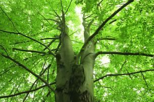 ブナの巨木の写真素材 [FYI03922228]