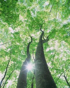 ブナの大木と木もれ日の写真素材 [FYI03922231]
