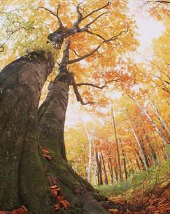 秋のブナ林の写真素材 [FYI03922630]