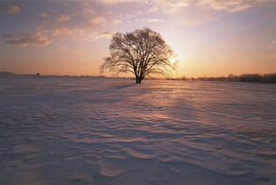 ハルニレの木の写真素材 [FYI03922699]