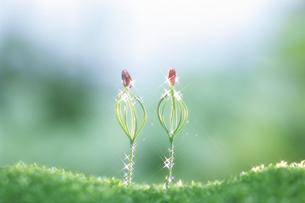 マツの新芽の写真素材 [FYI03922750]