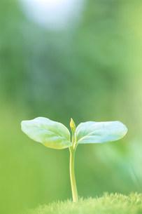 エゴの新芽の写真素材 [FYI03922767]