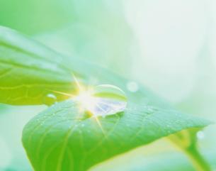 ボタンの葉と水滴の写真素材 [FYI03923839]