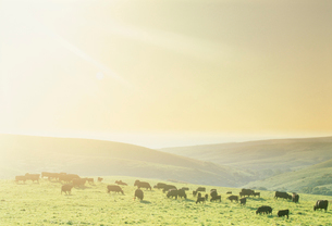 黒毛和牛 朝景の写真素材 [FYI03923845]