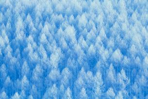 カラマツ林の霧氷の写真素材 [FYI03923986]