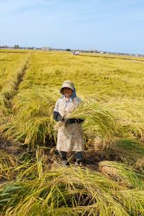 コシヒカリの稲を持つ農家の女性の写真素材 [FYI03924273]