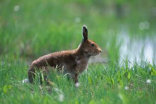 草原のエゾユキウサギの写真素材 [FYI03924282]