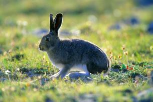 北極圏のユキウサギの写真素材 [FYI03924283]