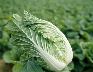 白菜の写真素材 [FYI03924419]