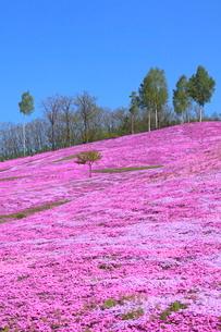 芝桜が咲く滝上公園の写真素材 [FYI03924889]