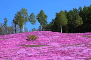 芝桜が咲く滝上公園の写真素材 [FYI03924891]