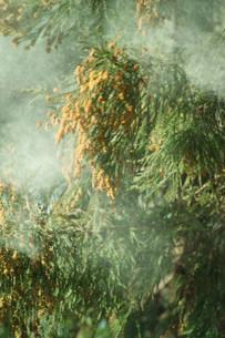 スギ花粉の写真素材 [FYI03926078]