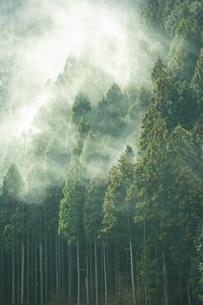 スギ花粉の写真素材 [FYI03926092]