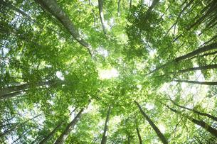 新緑のブナ林の写真素材 [FYI03927548]