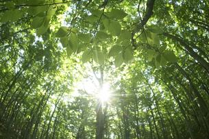 新緑のブナと光芒の写真素材 [FYI03927553]