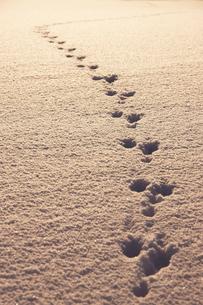 夕焼けに光る雪原の足跡の写真素材 [FYI03929078]