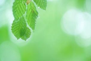 朝露の輝く新緑の葉の写真素材 [FYI03929146]