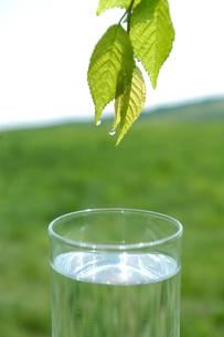 新緑の葉からグラスに落ちる水滴の写真素材 [FYI03929184]
