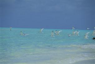 ビーチを飛ぶアジサシの群れの写真素材 [FYI03929922]