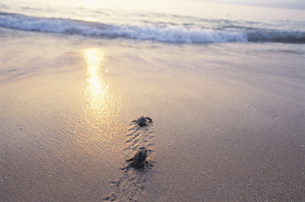 孵化後海に帰る子ガメ(アカウミガメ)の写真素材 [FYI03929987]