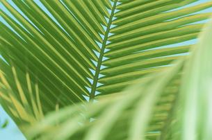 ヤシの葉の写真素材 [FYI03930021]