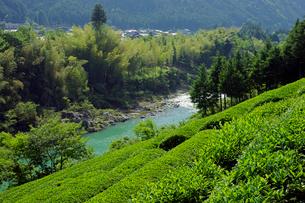 茶畑と飛騨川 の写真素材 [FYI03930159]